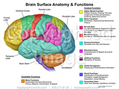 Brain function anatomy
