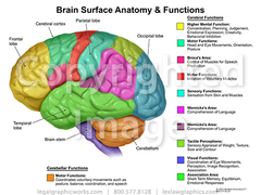 Brain surface anatomy   functions