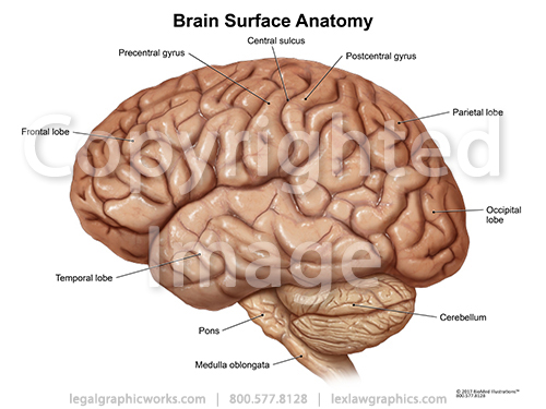 Brain surface anatomy