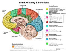 Brain cross sectional anatomy   functions