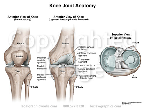 17026 knee joint anatomy