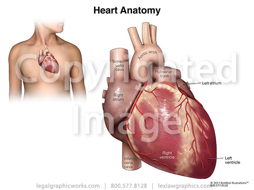 17043 heart anatomy