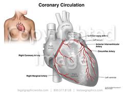 17043 heart vessel anatomy