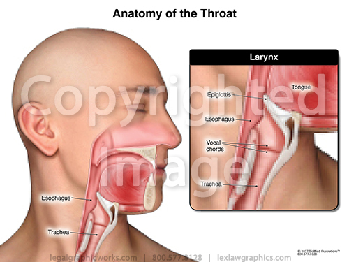 Anatomy of the throat g