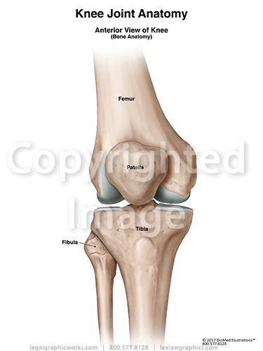 Anterior view of knee joint bones g