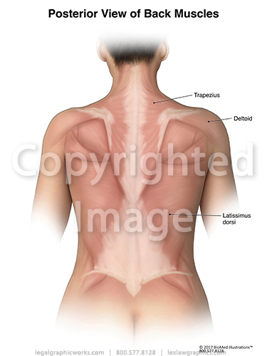 Posterior muscles female
